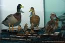 Ptaki Kotliny Biebrzańskiej